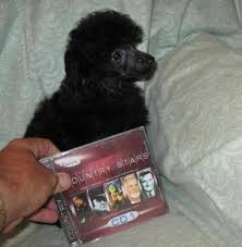 black toy poodle puppies from