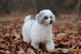 mini bernedoodle puppies