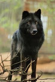 Il lupo nero | Lupo bianco, Cane lupo, Lupi neri
