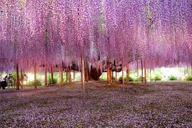 most beautiful wisteria tree in the