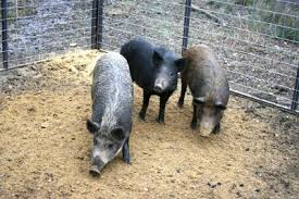 Exclude Wild Pigs From Wildlife Feeders With Panel Fencing Newton Rockdalenewtoncitizen Com