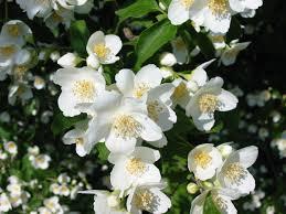 صور ورد الياسمين صور ورمزيات جميلة للورود والازهار عبارات