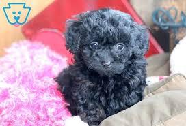 stella poodle toy puppy