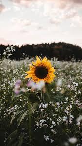 wallpaper sunflower flower