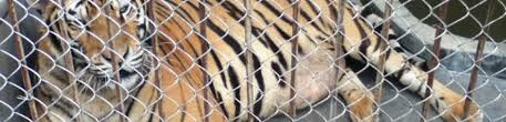 Chinese Government Document Signals Decision To Open Tiger Trade Is Quietly Going Ahead Eia