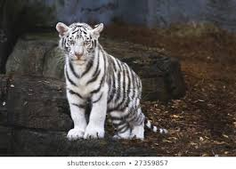white tiger cub images stock photos