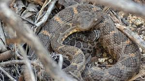 Snakes Have Friends Just Like People Asu Researcher Melissa Amarello Says