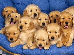 Perros Golden y Labrador Retriever... - Perros Golden y Labrador ...
