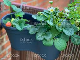 Strawberry Plants In A Flower Pot Hanging On Balcony Fence Stock Photo Download Image Now Istock