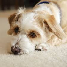 cleaning dog urine sns from carpet