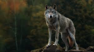 wolf wallpaper 42862 baltana