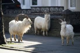 Animals reclaim cities, as millions stay indoors in coronavirus ...