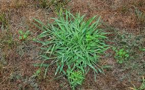 how to get rid of crabgrass the home