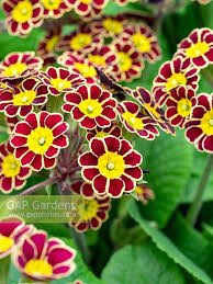 primula gold lace stock photo by