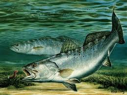 speckled trout wallpapers wallpaper cave