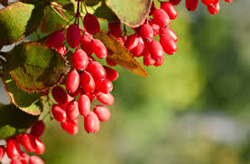 Berberine Supplements: How They Help, Dosage, Side Effects ...