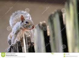 Cute Squirrel On Fence Stock Photo Image Of Gray Look 55054982