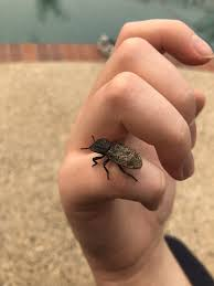 diabolical ironclad beetle ...