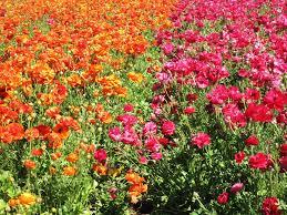 أجمل حقول الورد الرومانسية ثقف نفسك