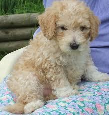 standard poodle dog breed information