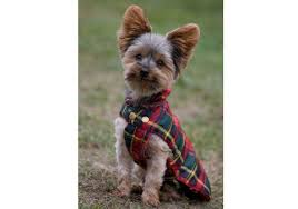 yorkshire terriers what s good about