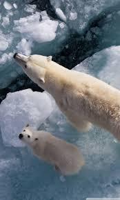 polar bear and global warming ultra hd