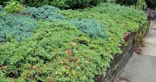 evergreen shrubs for your garden
