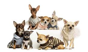 dogs many chihuahua s wallpaper