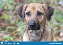 Mouth Cur Mix Dog Adoption Stock Photo ...