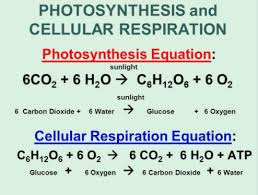 cellular respiration final exam
