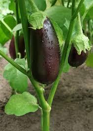 eggplant garden guide tips for