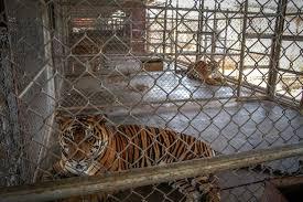 Tiger Farms In Laos Fuel Demand For Tiger Parts On Black Market Washington Post