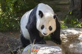 San Diego Zoo Bids Farewell To Giant Panda Gao Gao | KPBS