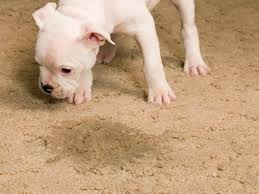 cleaning pet sns from carpet