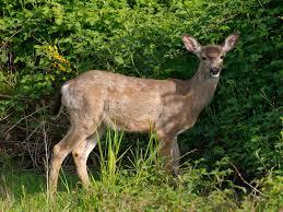 deer resistant plants and flowers keep