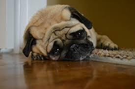 الكلب الحزين حيوانات متالمة صور حزينه