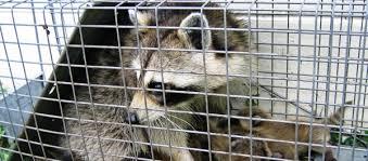 Do Raccoons Climb Fences