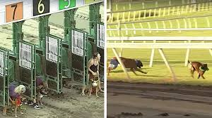 boxer dog charity race goes exactly as