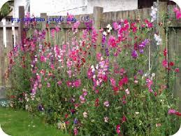 Bhg Photo Faves Plants Sweet Pea Flowers Growing Sweet Peas