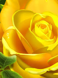 yellow rose flower flowers ipad mini