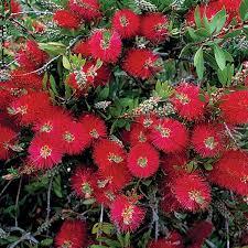 Bottlebrush Austin Native Landscaping