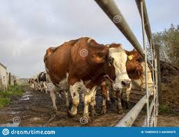 199 Dairy Cow Gate Photos Free Royalty Free Stock Photos From Dreamstime