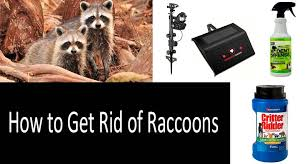 How To Get Rid Of Raccoons 8 Best Ways And Top 8 Products In 2020