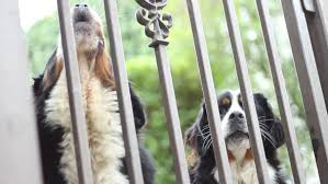 Dogs Barking Behind Fence By Tamiq Videohive
