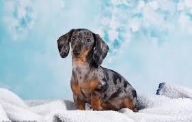 wallpaper background dachshund dog
