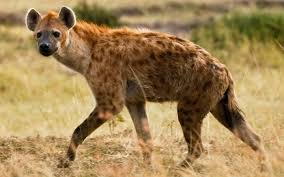 Hyena mauls teenager's face during family camping holiday