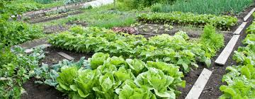 vegetable garden with milorganite