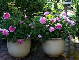 rose gardening in containers enjoy