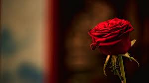 single red rose wallpaper love