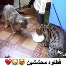 فيديو عن القطط مضحكه لم يسبق له مثيل الصور Tier3 Xyz